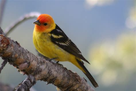 file western tanager piranga ludoviciana body visible
