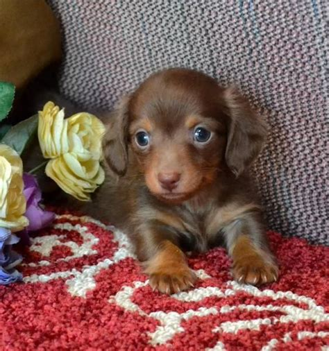 miniature dachshund puppies for sale in ohio best 25 puppies for sale ideas on