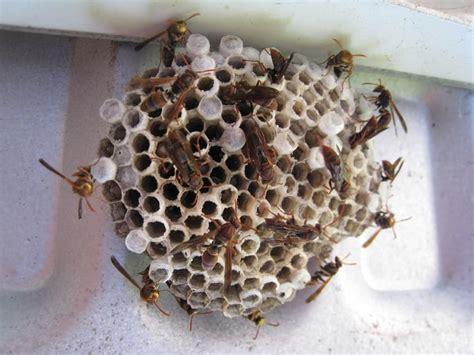 how to kill wasp in house natural wasp killer get rid of wasp nests without chemicals