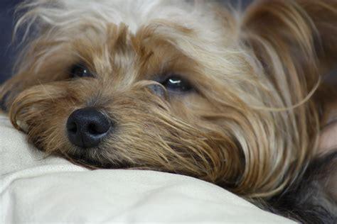 yorkie ta terrier razas de perros cuida mi mascota
