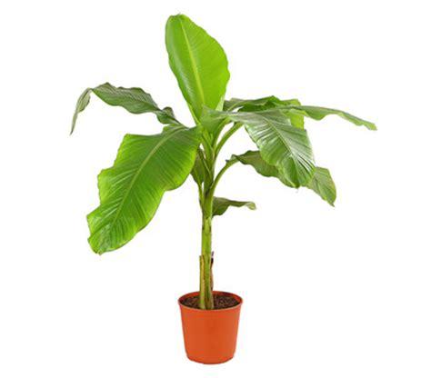 Pflege Bananenpflanze by Bananenpflanze Dehner Garten Center