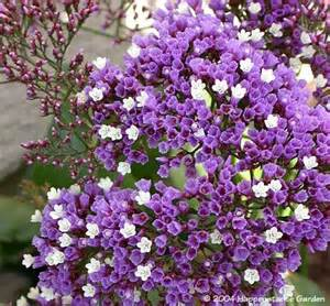 plantfiles pictures perez s sea lavender seafoam statice