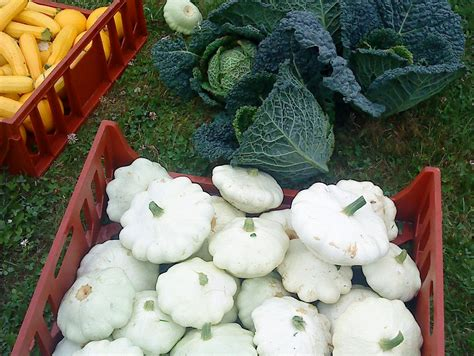 how to cook the patty pan squash in your veg box camel community supported agriculture