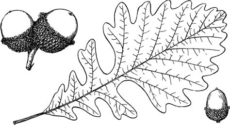 branch of bur oak clipart etc