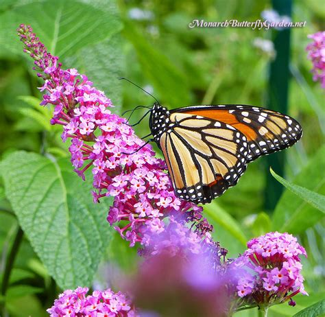 multi colored butterfly bush buddleja buzz butterfly bush has all the pollinators buzzing
