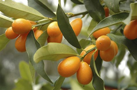 kumquat meiwa - Fruit Tree Supplies