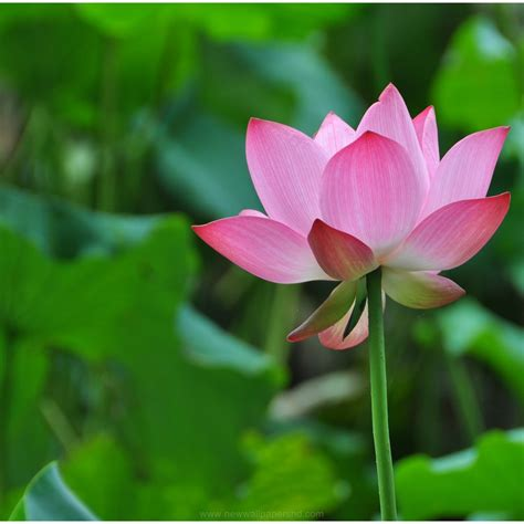 hd wallpaper for android flower lotus flower hd wallpaper 9hd wallpapers