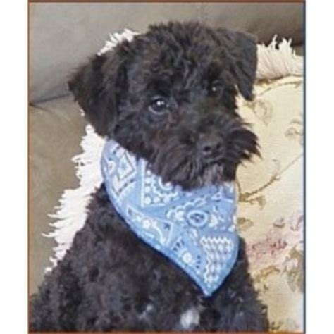 schnoodle puppies mn shelbo schnoodles schnoodle breeder in isanti minnesota listing id 19333