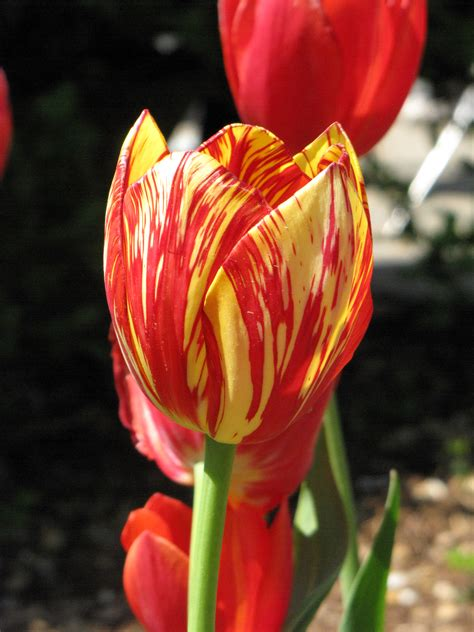 colors of tulips file tulip with variegated colors jpg wikimedia commons