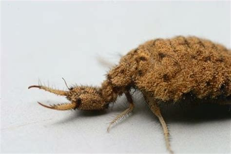 doodlebug larval stage one species a day antlion
