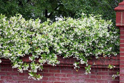 pianta con fiori bianchi tipo calla gelsomino ricante piante da giardino le