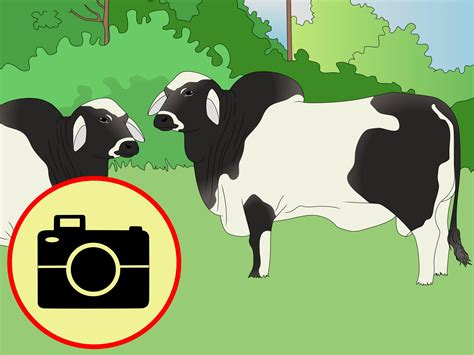 how to a cattle to work cattle how to identify brahman cattle 4 steps with pictures wikihow