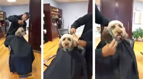 human hair dog cut pics here s a dog getting a haircut like a human you re