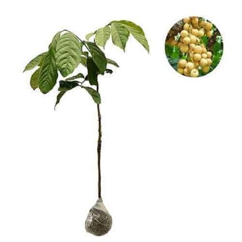 Bibit Buah Duku Palembang jual tanaman duku palembang 60 70 cm bibit