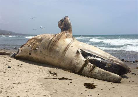 kpbs boat donation whale on beach will be cut up sent to landfill kpbs