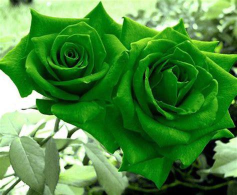 wallpaper of green rose green rose wallpapers 5290 hdwarena