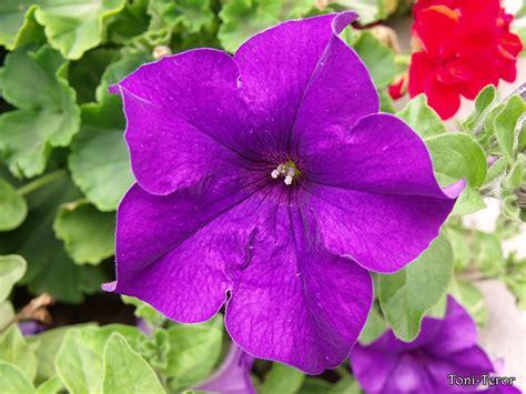 imagenes de flores llamadas violetas flor violeta by toniteror on deviantart
