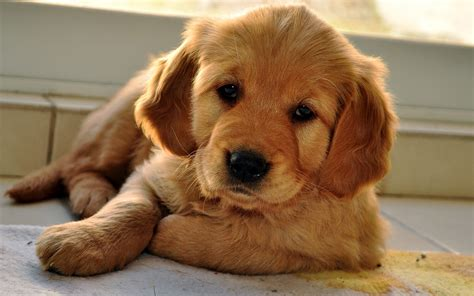 how to love your dog golden retrievers schattige lieve bruine hond wallpaper mooie leuke