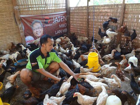 Bibit Ayam Jowo nanang aries ayam joper jowo jepara