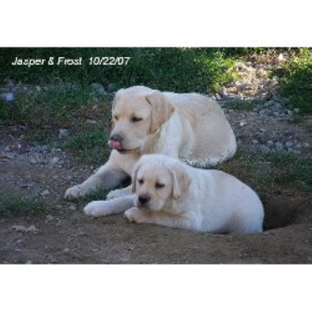lab puppies for sale in maine mcderry labrador retrievers labrador retriever breeder in naples maine listing id