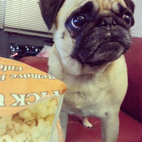 can pugs eat popcorn popcorn makes it not to how many times i seen this pug
