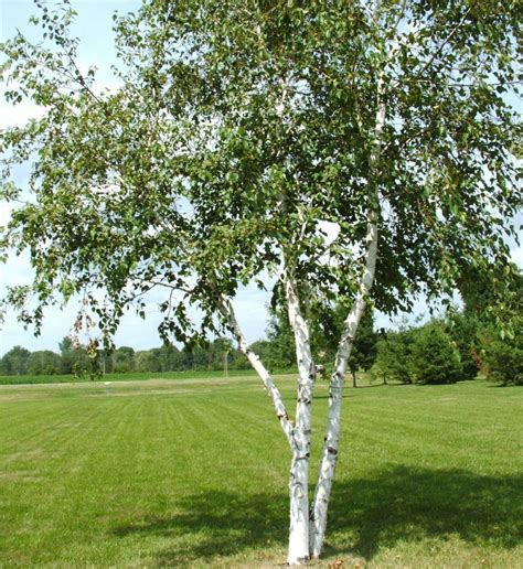 buy trees and shrubs online for less paper canoe birch tree 2 4 feet