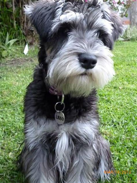 pictures miniature schnauzer with long hair miniature schnauzer dog sitting