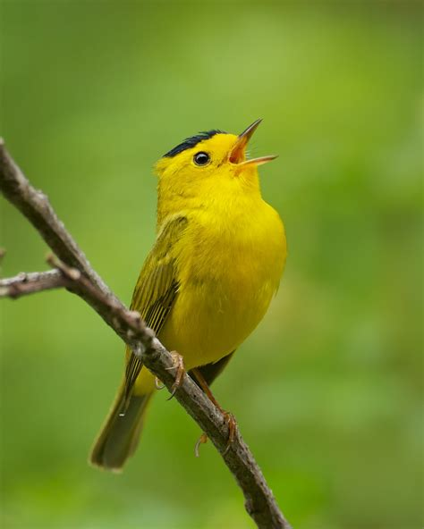 1000 images about birds warblers on pinterest north