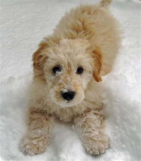 goldendoodle puppies noah the goldendoodle puppies daily puppy