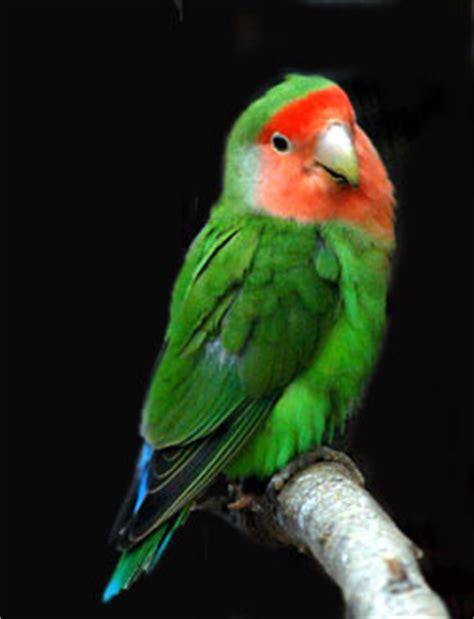 Pakan Hamster Komplit Lengkap Tulang Sotong tentang burung lovebird gado gado