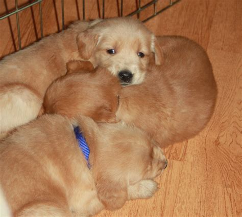 golden retriever puppy nipping 31 days and into nipping my toes golden retriever puppies lifesgoldenmoments
