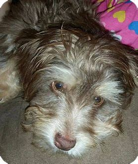 forever paws puppy rescue indiana indianapolis in schnauzer miniature poodle miniature mix meet chip a for