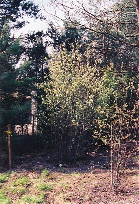 thiessen saskatoon amelanchier alnifolia thiessen