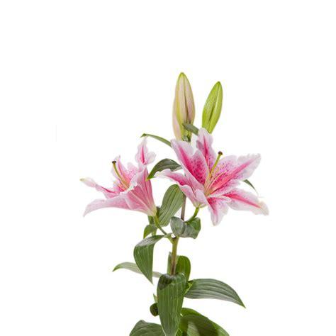 Set Lili Blue Pink stargazer pink lilies 20 stems flower muse