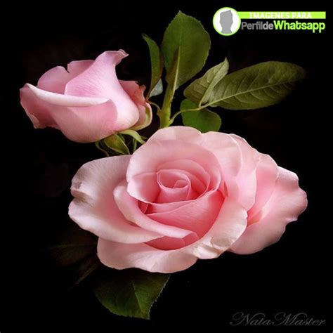 imagenes para perfil rosas im 225 genes rosas para tu perfil de whatsapp gratis aqu 237