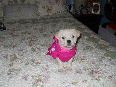 havanese cross pug havanese pug mix breeds picture