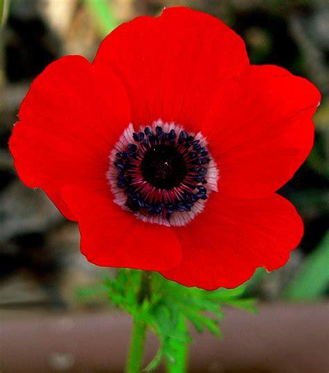 Anemone Coronaria by File Anemone Coronaria Mk Jpg Wikimedia Commons
