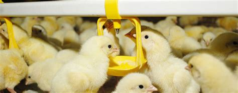 broiler poultry farm2 feedwater website