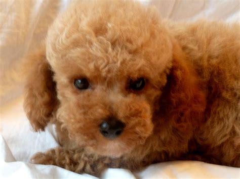 apricot poodle puppy poodle puppy apricot pompous poodle