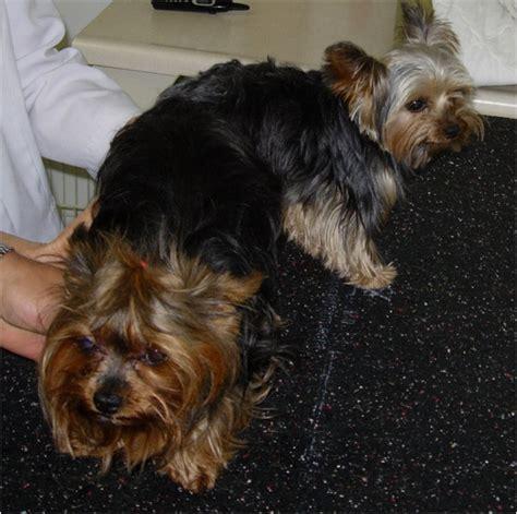 signs of yorkie in heat best yorkie stud best terrier for mating terrier