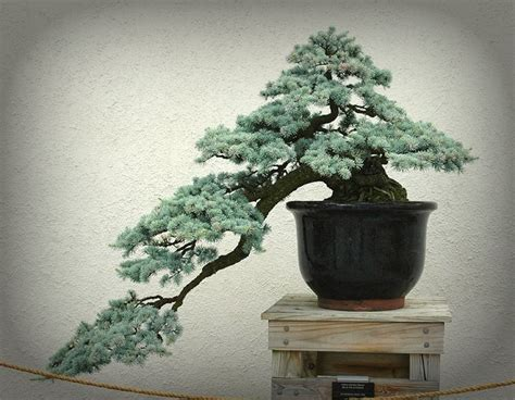 vasi bonsai vendita vasi per bonsai cascata ulivo bonsai attrezzi e vasi per