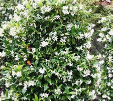 kletterpflanzen immergrün winterhart winterharte kletterpflanzen ebay