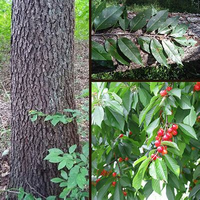 cherry tree quiz black cherry learn how to identify a black cherry tree in indiana