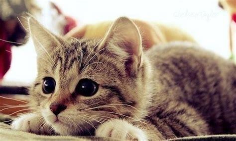 imagenes tiernas gatitos fotograf 237 as a sus adorables gatitos imagenes de gatitos