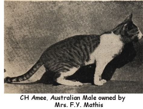 We Are The Cat Excerpt by The Way We Were Excerpts From The 1959 Cfa Yearbook Part 8