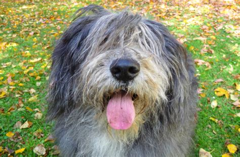 shaggy breeds top 8 shaggy breeds pawculture