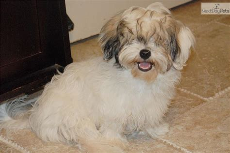havanese puppies houston houston dogs for sale puppies cats kittens pets for sale univision