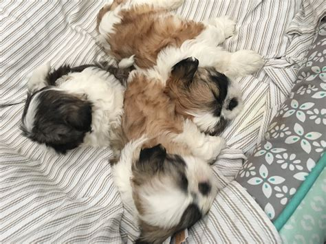 puppies for sale in east shih tzu puppies for sale east stroudsburg pa 188330