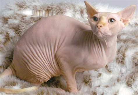 cat hair for a cats hairless cat breeds need health insurance