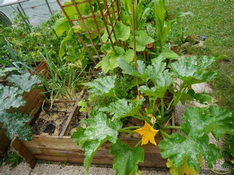 Planter Des Courgette by Courgettes Mes Astuces Pour Cultiver Vos Pieds Et Plants